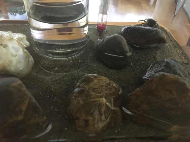 蟹の飼育0726